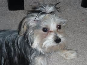 morkie haircuts pictures morkie madness what will my morkie puppy look like at