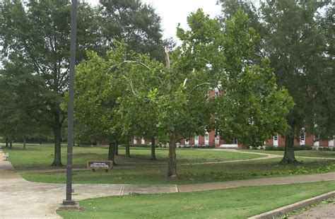 college trees mississippi state moon tree