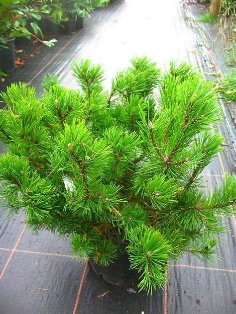Related Keywords & Suggestions for japanese evergreen shrubs