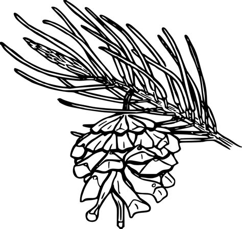 mint leaf coloring page pinyon pine cone clip art photo sketch coloring page