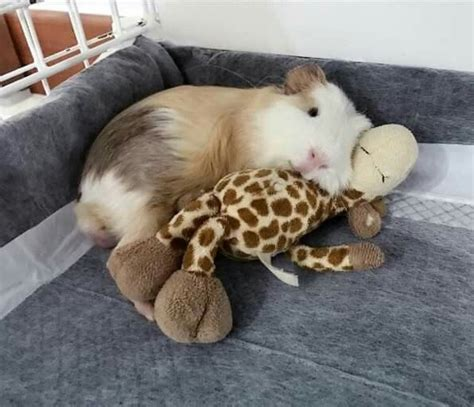 My Nap Friend Pic 1070 best ideas for keeping rabbits and guinea pigs images