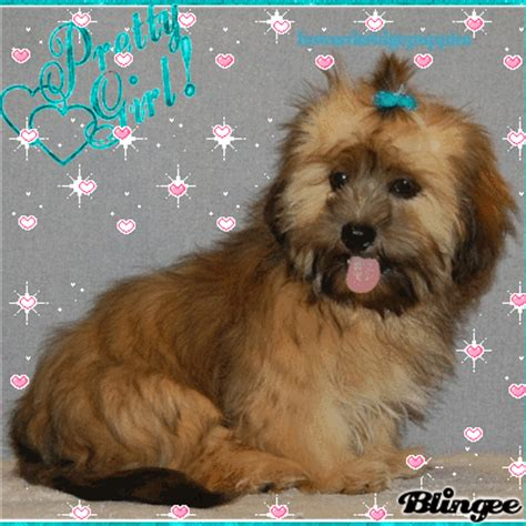 shih tzu doxie mix dachshund shih tzu mix picture 95033765 blingee