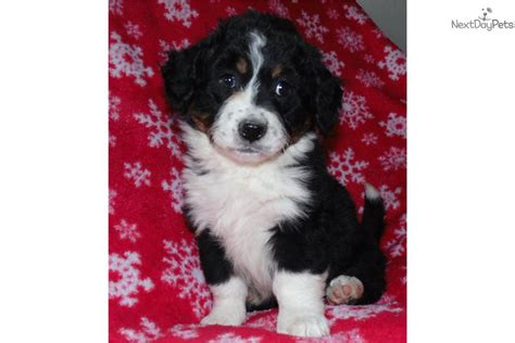 bernese mountain puppies for sale near me bernese mountain puppy for sale near salt lake city utah de09ec11 da31