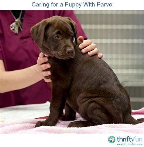 my puppy has parvo caring for a puppy with parvo thriftyfun