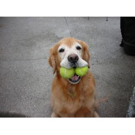 golden retriever breeders oregon goldens golden retriever breeder in oregon listing id 15168