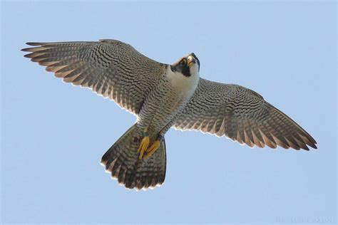 images of a falcon peregrine falcon images