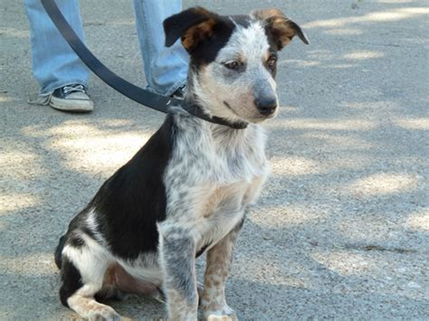 australian cattle mix franklin australian cattle blue heeler humane society of dallas county
