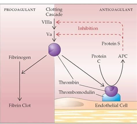 c protein coagulation hemostasis and its regulation part 1