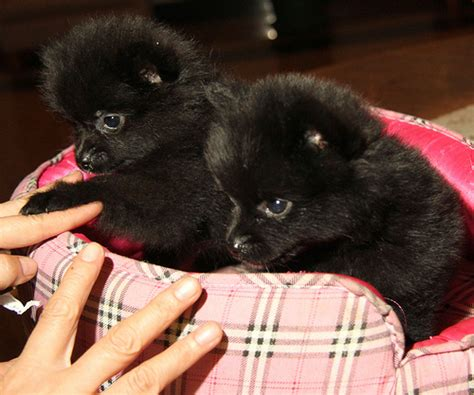 small black pomeranian small black pomeranian puppy biting its bone jpg m5x eu