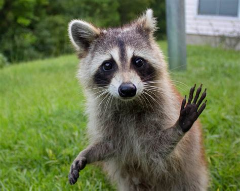 raccoon and ridding our home of raccoons opossums destinations dreams and dogs