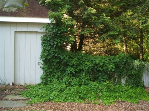 climbing flowering plants for shade shade climbers green acre