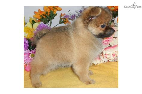 hug puppies for sale puppies for sale from hug a pup member since december 2005