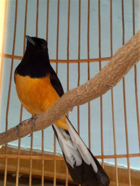 gambar burung murai medan tips perawatan burung murai batu