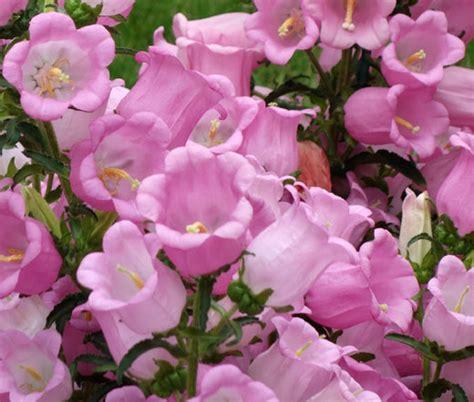 Glockenblume Rosa by Canterbury Bells Pink Seeds Canula Medium
