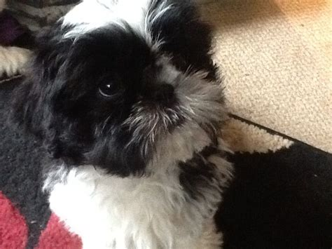 shih tzu puppies for sale in dorset and hshire shih tzu puppies for sale wimborne dorset pets4homes