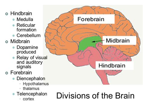 diagram of forebrain the biological perspective ppt
