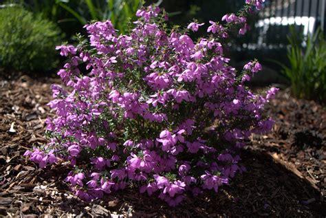 purple flowering shrubs australia tetratheca thymifolia at its best mallee design