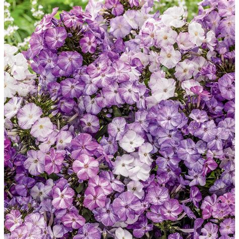 shop garden state bulb 3 count container freckles purple