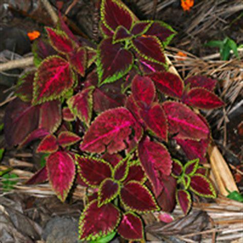 what is a foliage plant tropical foliage plants hawaiian plants and tropical