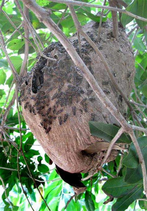 What Of Bees Make Paper Nests - horseplay new site gt http geekyantics net