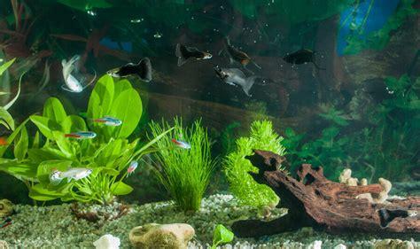 care   freshwater fish tank caring pets