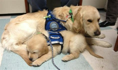 comfort dog training 57 best therapy service dogs images on pinterest baby