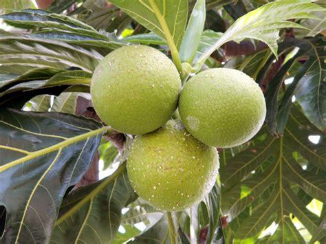 Arbre à Fruits by Runrol974 Arbre 224 Fruit 224 Flore Fruit 206 Le De
