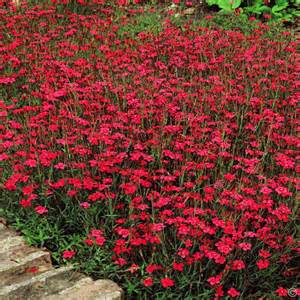 Lotus Ground Cover Dianthus Deltoides 3 Plants Buy Order Yours Now