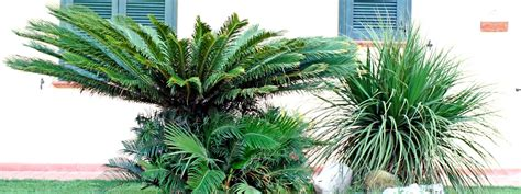 tipi palme da giardino una palma in giardino s 236 o no cose di casa