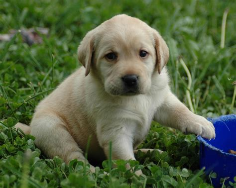 white lab puppies puppy dogs yellow labrador retriever puppies