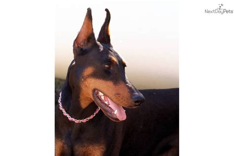 doberman puppies oregon doberman pinscher puppy for sale near bend oregon 41b4b48f 99e1