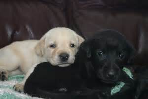 Lab Puppies Lab Puppies Woodland Kennel Oxford Ct