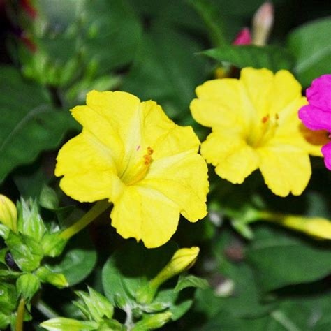 fragrant plants for sale 2017 sale yellow seeds fragrant plant