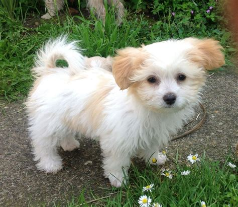 pet puppies gorgeous miki puppies for sale newark nottinghamshire pets4homes