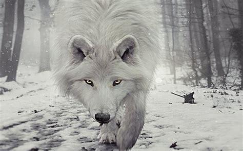 imagenes de lobos en 4k fondos de pantalla de lobos hd fondos de pantalla