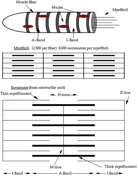 the diagram illustrates a small portion of several myofibrils structure and composition of science