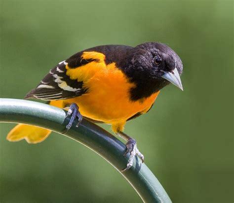 beautiful orange and black bird birds owls pinterest