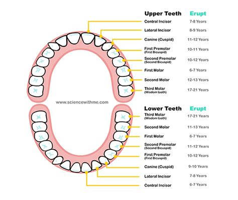 teeth layout and names learn about the teeth