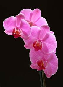 pink orchids pink orchids flowers
