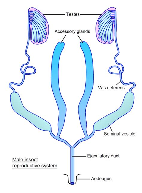 reproductive system and diagram the gallery for gt reproductive system diagram