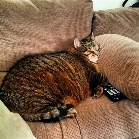 Fresh Blood In Cat Stool by Cat Epidemic 5 Signs That Your Cat Is Obese Catster