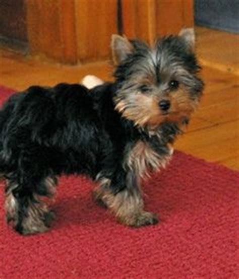 teacup pomeranian yorkie mix schnauzer yorkie mix for sale shih tzu mix puppies for sale in pa