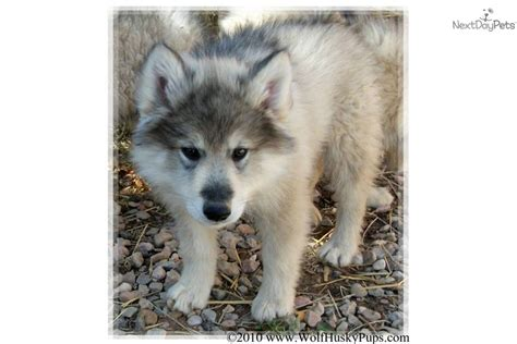 wolf puppies for sale in california wolf hybrid dogs for sale in california breeds picture