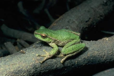 who introduced the tree endangered species spotted tree frog australian geographic
