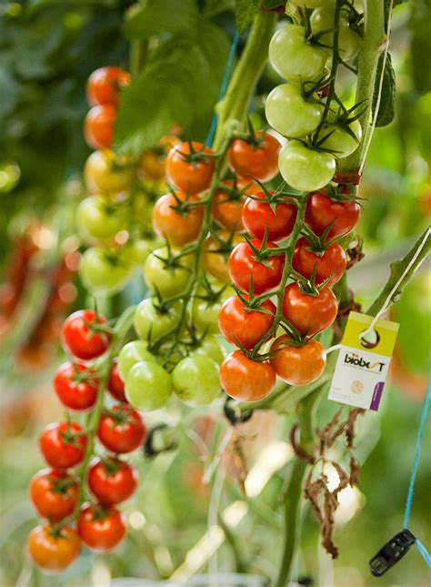 backyard farms tomatoes vine ripened tomatoes at backyard farms in madison the portland press herald maine
