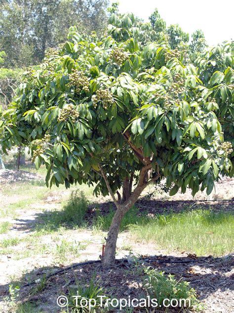 how to grow longan fruit trees longan dimocarpus longan