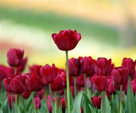 imagenes flores tulipanes fondos de pantalla de flores de primavera spanish hd
