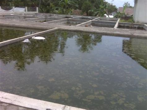 Bibit Ikan Gurame Magelang bibit ikan bawal murah berkualitas
