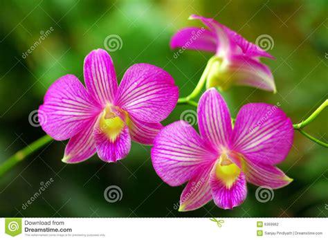 imagenes de flores hermosas orquideas orqu 237 deas rosadas hermosas foto de archivo imagen de pink