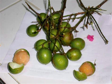 guyana fruit trees from the backdam to the fireside fruits of guyana